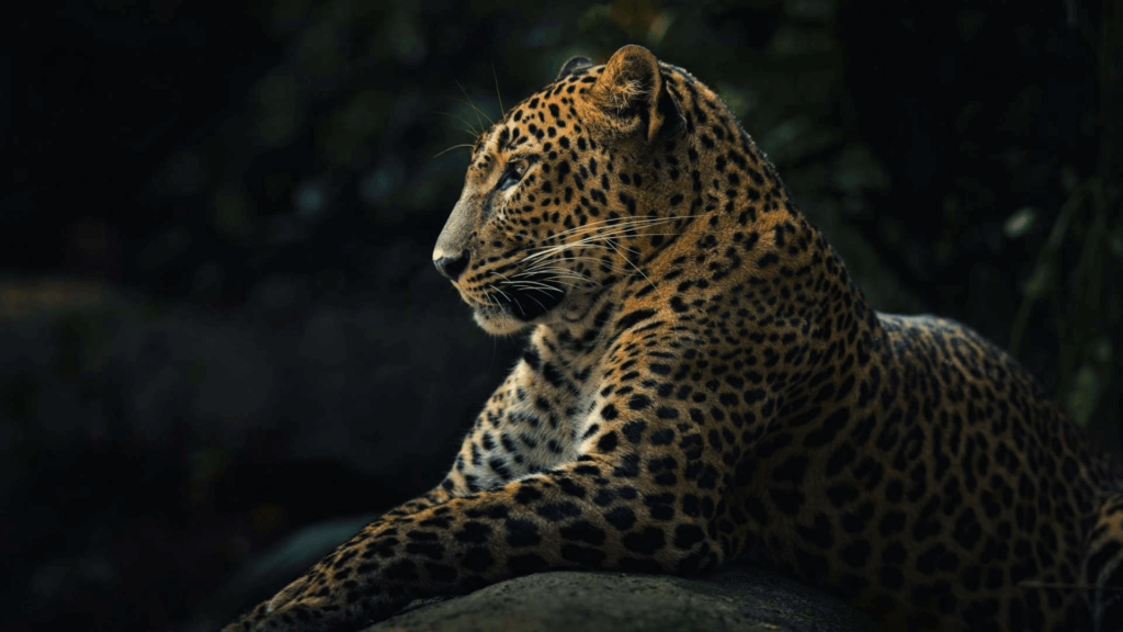 20 Hd Tiger Amp Leopard Wallpapers Blogenium Free Wallpapers