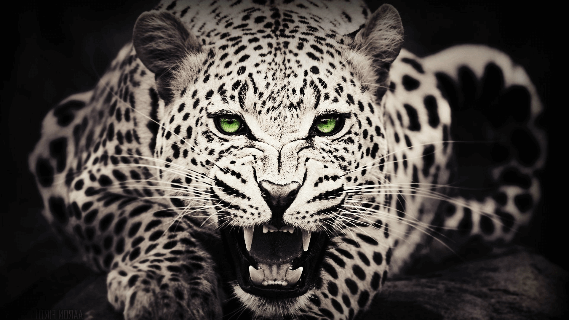 20 HD Tiger & Leopard Wallpapers